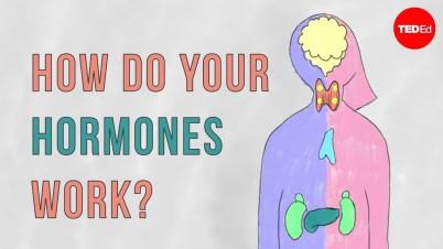 How do your hormones work