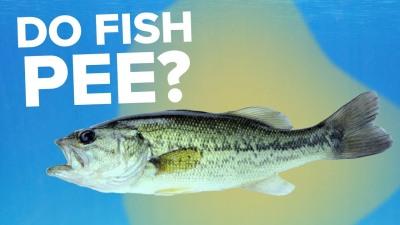 Do Fish Pee?