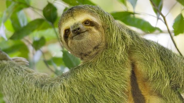 Sloth with green fur
