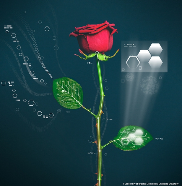 Cyper Plant - Researchers at Linköping University in Sweden has created a cyborg rose using a highly conductive polymer, known as PEDOT-S, which runs all the way across the rose stems