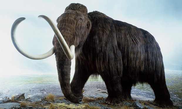 Harvard Scientists Claim They Could Resurrect Woolly Mammoth From Extinction Within Two Years Using Genetic Engineering. [Image: Woolly mammoth (Mammuthus primigenius), a model of an extinct Ice Age mammoth. © Andrew Nelmerm/Getty Images/Dorling Kindersley via The Guardian]
