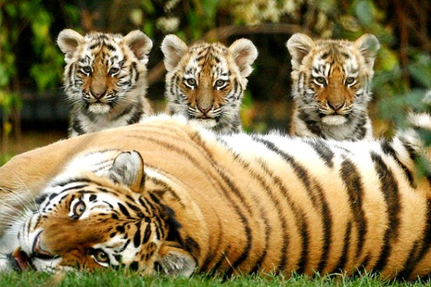 Researchers have assembled a range of mathematical models into a single equation to identify what variables control stripes formation in animals like tigers and zebrafish.