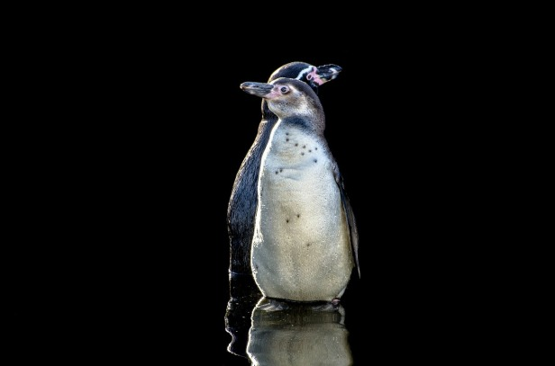 penguins-316461_1280