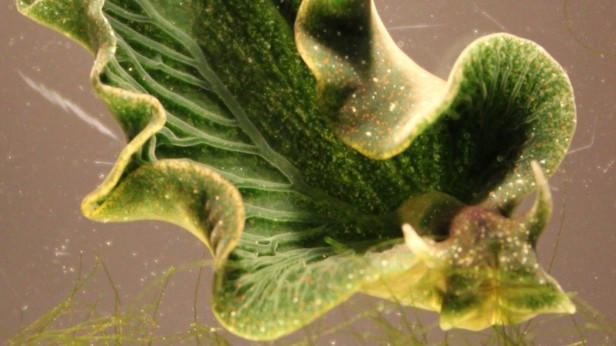 Sea Slug, Elysia chlorotica [ Image: Karen N. Pelletreau/University of Maine]