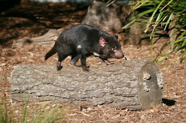 Tasmanian devil milk can kill some of the world's deadliest bacterial and fungal infections known to science, including golden staph