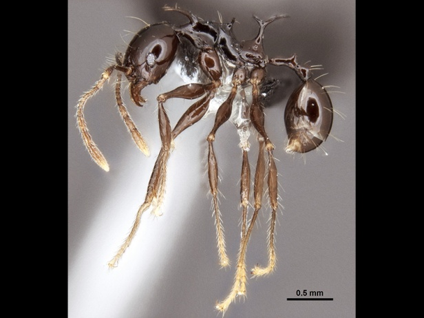 "05 - ""Dragon"" Ant (Pheidole drogon)"