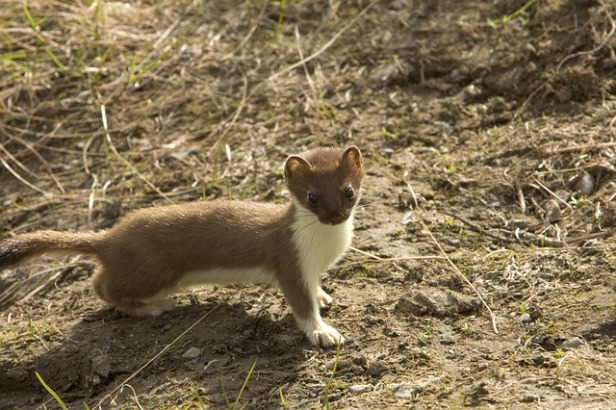Weasel takes the world's largest and most powerful particle accelerator, the Large Hadron Collider, offline