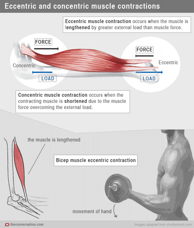eccentric and concentric muscle contractions