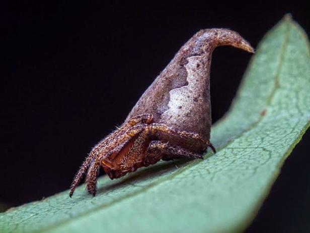 01 - Sorting Hat Spider (Eriovixia gryffindori)