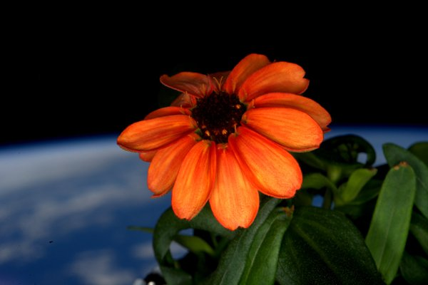 Zinnia - First Ever Flower Grown In Space