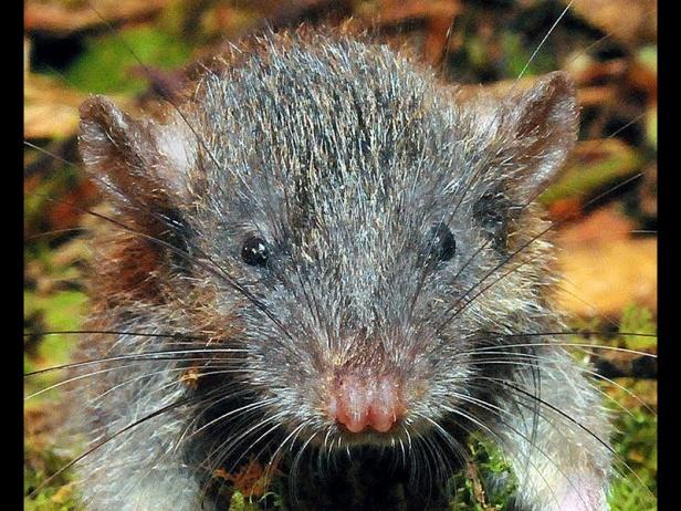 03 - Omnivorous Root Rat (Gracilimus radix)