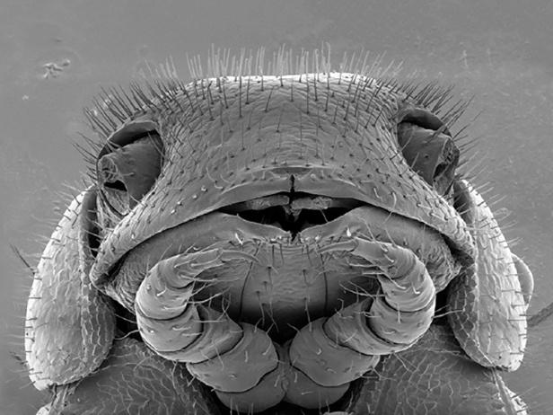 04 - 414-legged Millipede (Illacme tobini)