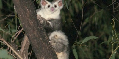 the greater glider