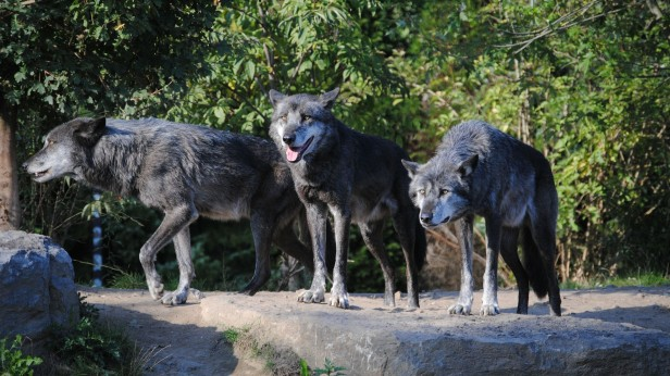 Is Your Dog Dumber Than A Wolf - Study Shows Wolves Understand Cause And Effect Better Than Dogs