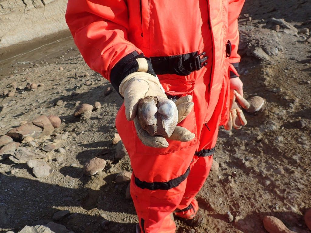 Researcher holding a fossilized clam shell, collected during a field research trip to Seymour Island, Antarctica