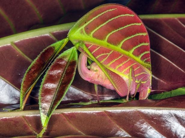 02 - Unexpected Katydid (Eulophophyllum kirki)