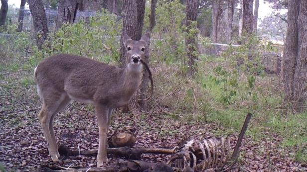 Deer Eating Human Bone