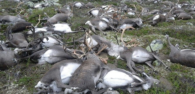 323 reindeer killed by lightning in Norway
